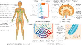 Lymphatic system Royalty Free Stock Photography