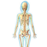 Lymphatic system of female body Stock Image