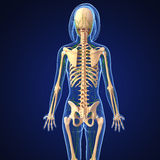 Lymphatic system of female body Royalty Free Stock Photography