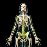Lymphatic system of female body skeleton Royalty Free Stock Images
