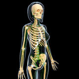 Lymphatic system of female body skeleton side view Stock Photo
