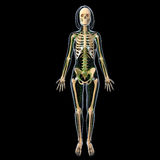 Lymphatic system of female full body. Human anatomy illustration of the Lymphatic system of female full body with skeleton Stock Images