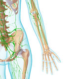 Lymphatic system of female skeleton. 3d art illustration of lymphatic system of female skeleton Stock Photos