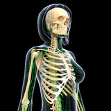 Lymphatic system of female skeleton isolated. 3d art illustration of Lymphatic system of female skeleton isolated Royalty Free Stock Image