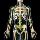 Lymphatic system with front view of skeleton. Human anatomy illustration of the Lymphatic system with front view of skeleton Stock Photo