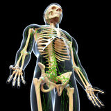Lymphatic system with full body skeleton. Human anatomy illustration of the Lymphatic system with full body skeleton Royalty Free Stock Photo