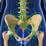 Lymphatic system Royalty Free Stock Images