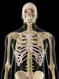 The lymphatic system Stock Image
