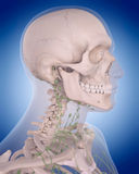 The lymphatic system - the neck Royalty Free Stock Image