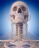 The lymphatic system - the neck Stock Photos