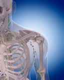The lymphatic system - the shoulder Royalty Free Stock Photo