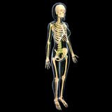 Lymphatic system of side view of female full body. Human anatomy illustration of the Lymphatic system of side view of female full body with skeleton Stock Photos
