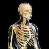Lymphatic system with skeleton. Human anatomy illustration of the Lymphatic system with skeleton Royalty Free Stock Images