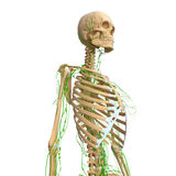 Lymphatic system with skeleton. Female anatomy illustration of the Lymphatic system with skeleton Royalty Free Stock Photo
