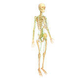 Lymphatic system with skeleton. Female anatomy illustration of the Lymphatic system with skeleton Royalty Free Stock Image