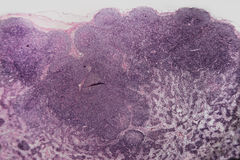Lymphknotenhund der Biologie abstrakter Zell Lizenzfreies Stockfoto