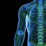 Lymphsystem des halben Körpers Stockfotos