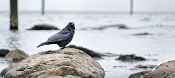 Lynmouth Crow at Lynmouth Harbour Bay stock photo