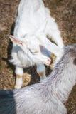 Lynneförälskelse Kram för två getter Gulliga djur Arkivfoton