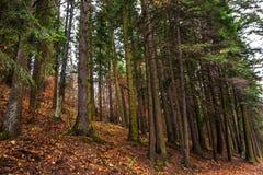 Lynnig skog för granträd på nedgången Rostigt blad på jordningen Royaltyfri Fotografi