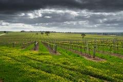 Lynnig vingård Royaltyfri Fotografi