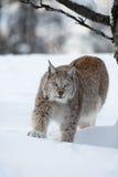 Lynx égrappant dans la forêt Images stock