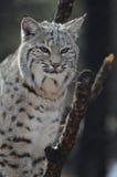 Lynx était perché dans un arbre Photographie stock libre de droits