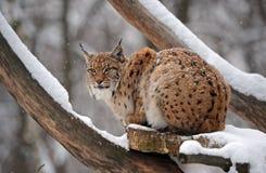 Lynx в зиме Стоковая Фотография