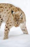 Lynx в зиме Стоковые Изображения RF