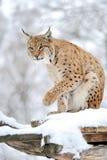 Lynx в зиме Стоковое Изображение RF