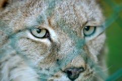 lynx глаза Стоковая Фотография RF