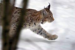 lynx звероловства Стоковые Изображения