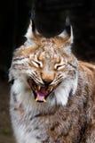 lynx зевая Стоковая Фотография