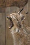 lynx зевая Стоковые Фото