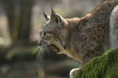 lynx зевая Стоковое Изображение