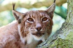 lynx северный Стоковые Изображения