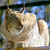 Lynx 1. Young lynx in its enclosure Stock Image