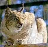 Lynx 1 Stock Afbeelding