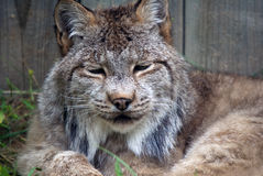 Lynx. Closeup picture of a Lynx or bobcat at rest Stock Photos