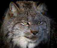 Lynx. Close-up portrait of a Canada Lynx also known as a Bobcat Stock Photography