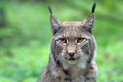 Free Lynx Royalty Free Stock Image - 105128186
