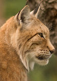 Lynx. Portrait of a lynx showing head with eye, snout, whiskers and ears royalty free stock image