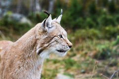 Lynx. In nature surroundings in Norway Stock Photo