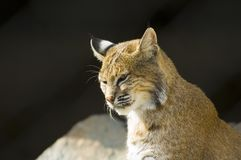 Lynx. In zoo royalty free stock images