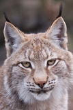 Lynx. Portrait of a Lynx Royalty Free Stock Photography