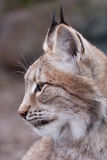Lynx. Portrait in Profile of lynx Royalty Free Stock Photo