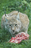 Lynx. On grass eating meat royalty free stock photo