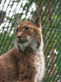 Lynx. Bobcat, wild cat Royalty Free Stock Images
