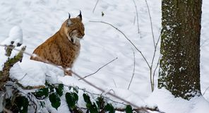 Lynx. Photos lynx in winter forest Royalty Free Stock Photos