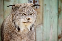 Lynx. A lynx stares on it's prey Stock Photo